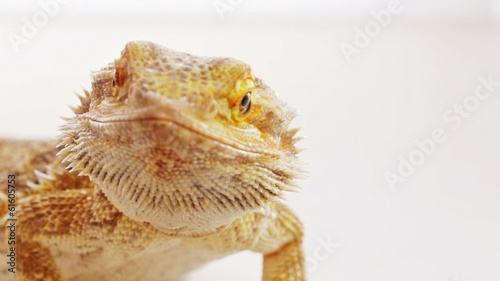 Bearded dragon (agama lizard) close-up portrait over white