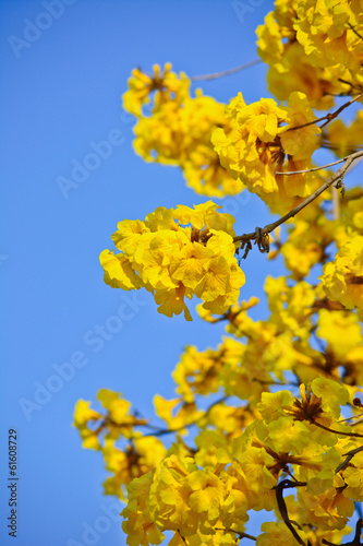 close-up golden tree flower (yellow pui)
