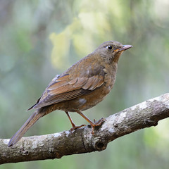female Grey-winged Blackbird