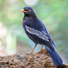 male Black-breasted Thrush