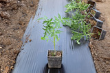 Agriculture greenhouse, tomato plant in pot, seedlings