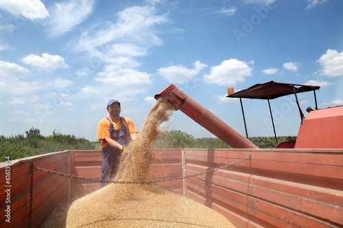 Agriculture, wheat harvesting peasant crop and combine