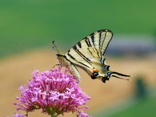 Papillon butine une fleur printemps 4