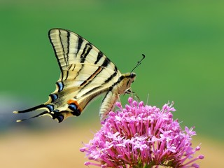 Papillon butine une fleur printemps 2