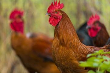 Poulets (Poules et coqs) de chair dans un élevage traditionnel