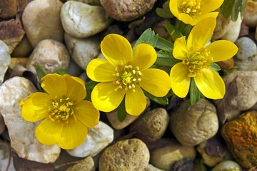Eranthis, Winterling, winter aconite