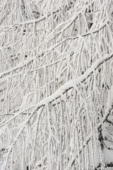 Larici innevati presso Tarvisio, Italia