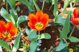 Blooming orange tulips on top view.