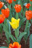 Yellow and Orange Tulips in Flower Garden.