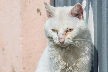 Ill white cat