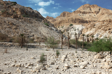 Pamls at Mt in national park Ein Gedi near the Dead Sea in Israe
