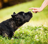 The young dog Cane Corso watching at the human hand