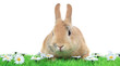 Dwarf rabbit on white background