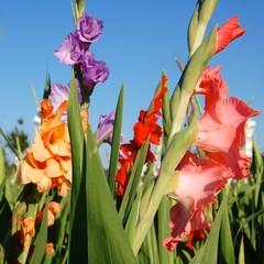 Sommerblumen - Gladiolen