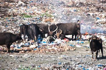 Cows eating trash at illegal landfill
