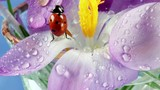 Ladybird on flower crocus close up