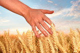 Hand touching wheat at wheat field