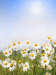 Kamillenblüten und Sonnenschein