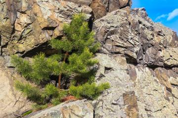 pine on rock ledge
