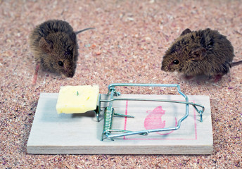 Two indecisive mouse mousetrap near