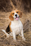 Beagle dog portrait outdoors