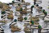 large group of ducks swimming in river