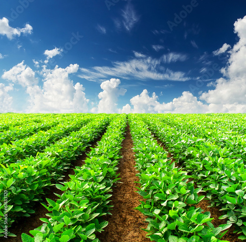 Rows on field. Agricultural landscape