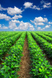 Rows on field. Agricultural landscape - 61633538