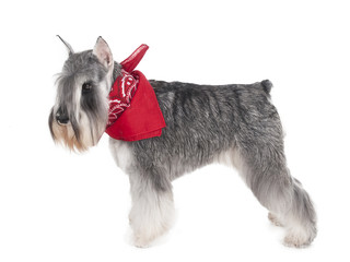Miniature Schnauzer on a white background in studio