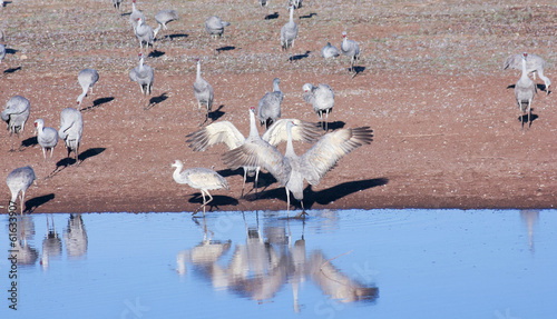 A Group of Sandhill Cranes by a Pond