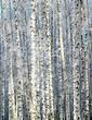 Winter sunny birch grove