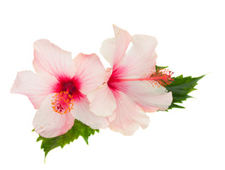 two pink hibiscus flowers with leaves