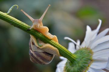 Улитка на стебле ромашки в естественных условиях