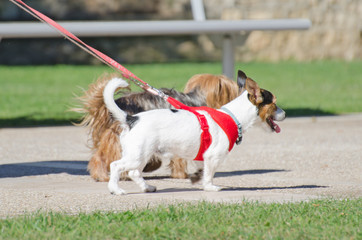 Two small dogs on a leash.