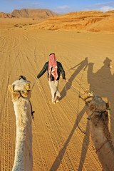 Camel driver leading two camels over sand tracks in the desert o