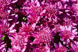 Chrysanthemum macro