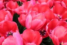 Groupe de grandes tulipes rouges
