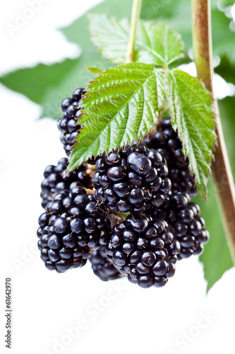 Blackberries on the twig