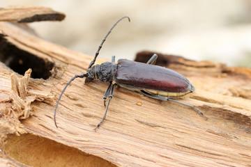 Insecte capricorne sur bois de chêne