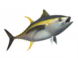 Yellowfin tuna in fast motion, isolated