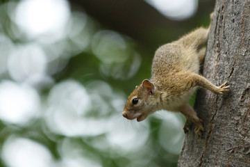 Baumhörnchen am Baum