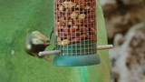 Great tit feeding on peanuts on a bird feeder