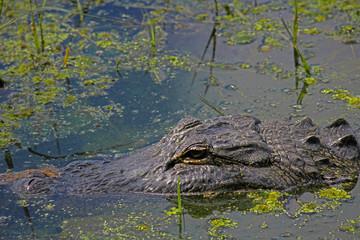 Aligator Floating On A Swamp
