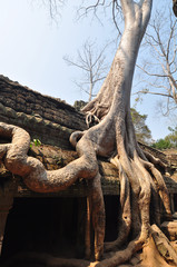 Giant tree covering the stones of Ta Prohm temple in Angkor Wat