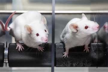 Laboratory mice in the experiment test.