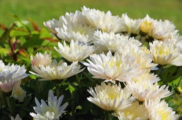 Chrysantheme weiss - chrysanthemum white 01