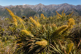 speargrass growing on slopes of Kaikoura Ranges