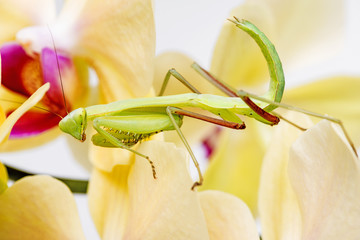 mantis on an orchid