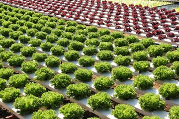 Farm of Hydroponic Plantation