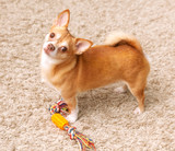 brown chihuahua dog on the carpet with toy